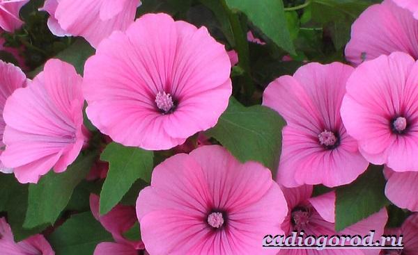Лаватера-цветы-Описание-особенности-виды-и-уход-за-лаватерой-25