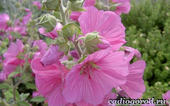 Лаватера-цветы-Описание-особенности-виды-и-уход-за-лаватерой-3