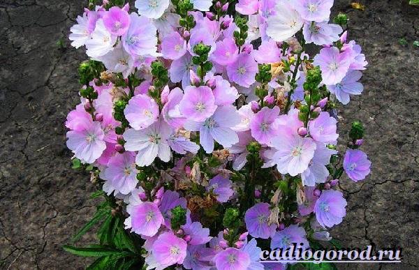 Лаватера-цветы-Описание-особенности-виды-и-уход-за-лаватерой-5