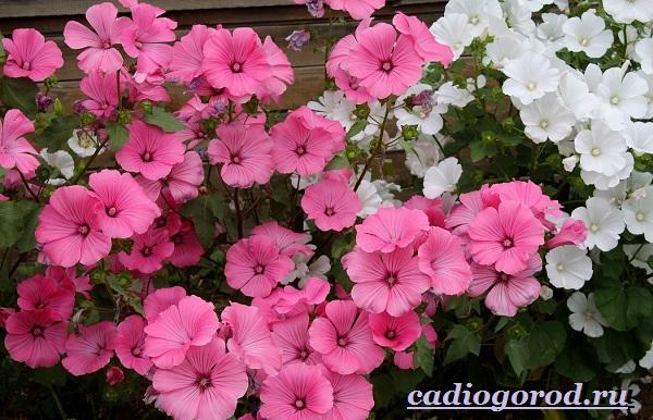 Лаватера-цветы-Описание-особенности-виды-и-уход-за-лаватерой-7