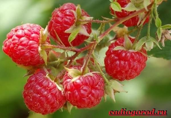Малина-ягода-Выращивание-малины-Уход-за-малиной-1