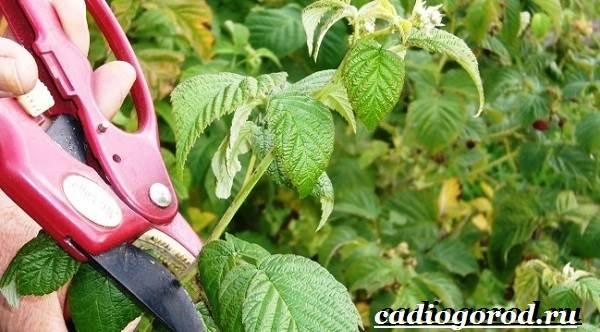 Малина-ягода-Выращивание-малины-Уход-за-малиной-25