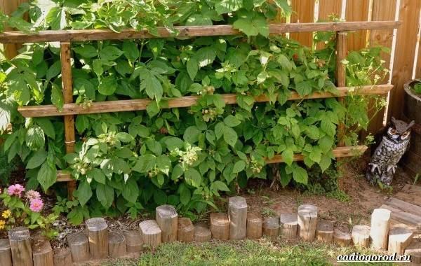 Малина-ягода-Выращивание-малины-Уход-за-малиной-33