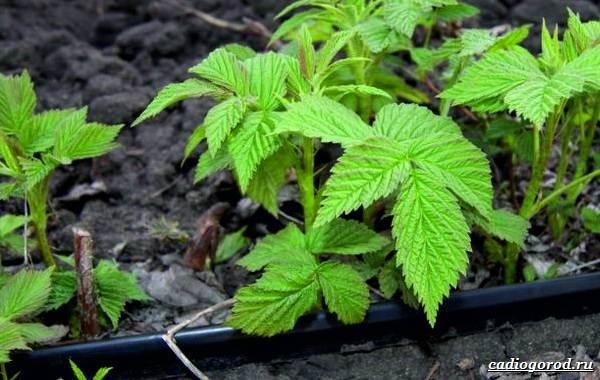 Малина-ягода-Выращивание-малины-Уход-за-малиной-34