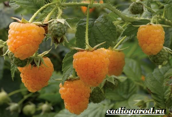 Малина-ягода-Выращивание-малины-Уход-за-малиной-4