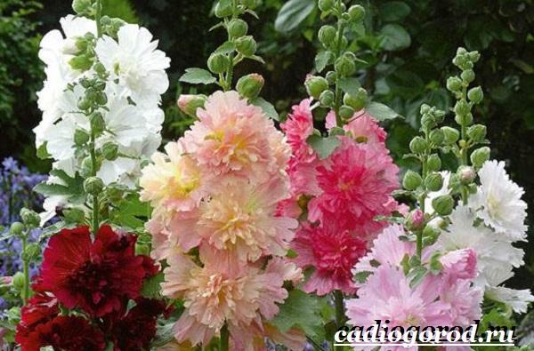 Мальва-цветок-Описание-особенности-виды-и-уход-за-мальвой-12