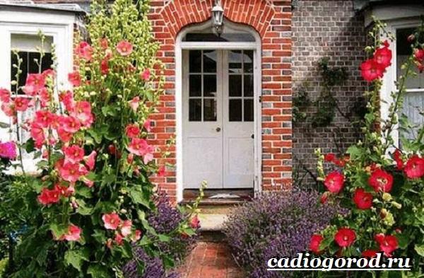 Мальва-цветок-Описание-особенности-виды-и-уход-за-мальвой-13
