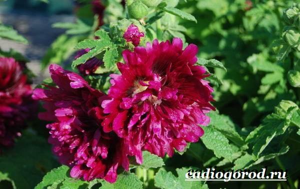 Мальва-цветок-Описание-особенности-виды-и-уход-за-мальвой-18