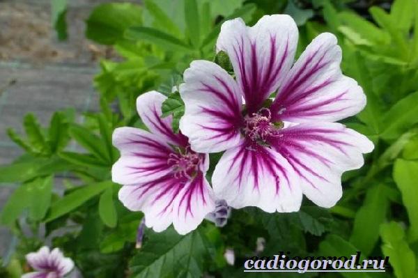 Мальва-цветок-Описание-особенности-виды-и-уход-за-мальвой-5