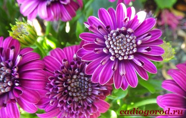 Маргаритки-цветы-Описание-особенности-уход-и-виды-маргариток-16