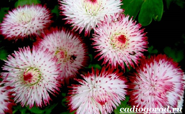Маргаритки-цветы-Описание-особенности-уход-и-виды-маргариток-18