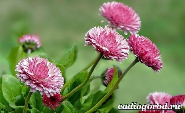 Маргаритки-цветы-Описание-особенности-уход-и-виды-маргариток-20-1