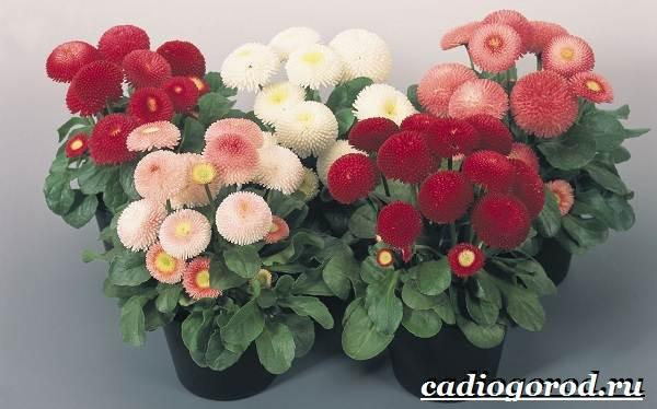 Маргаритки-цветы-Описание-особенности-уход-и-виды-маргариток-25-1