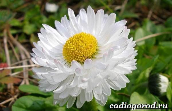 Маргаритки-цветы-Описание-особенности-уход-и-виды-маргариток-26