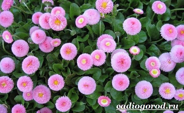 Маргаритки-цветы-Описание-особенности-уход-и-виды-маргариток-27