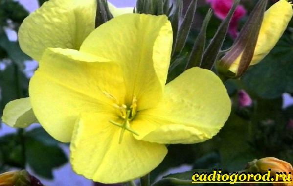 Мирабилис-цветок-Описание-особенности-виды-и-уход-за-мирабилисом-11
