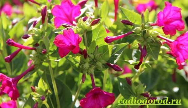 Мирабилис-цветок-Описание-особенности-виды-и-уход-за-мирабилисом-15
