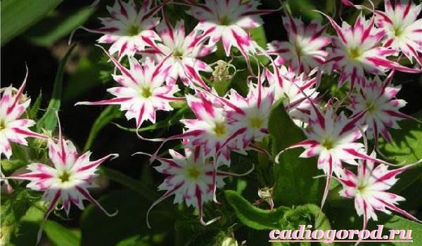 Мирабилис-цветок-Описание-особенности-виды-и-уход-за-мирабилисом-24