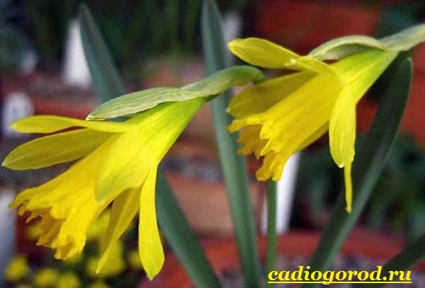 Нарцисс-цветок-Выращивание-нарцисса-Уход-за-нарциссом-16