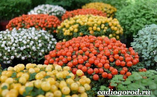 Нертера-цветок-Описание-особенности-виды-и-уход-за-нертерой-2