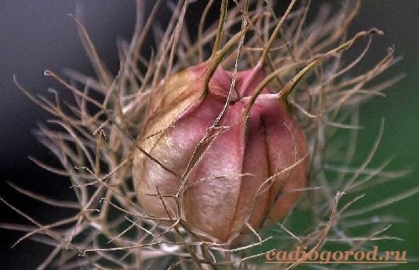 Нигелла-цветок-Описание-особенности-виды-и-уход-за-нигеллой-15