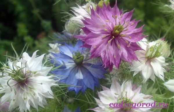 Нигелла-цветок-Описание-особенности-виды-и-уход-за-нигеллой-7