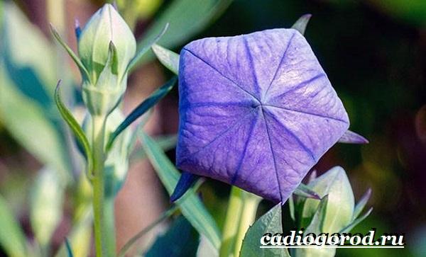 Платикодон цветок. Описание, особенности, виды и уход за платикодоном-4
