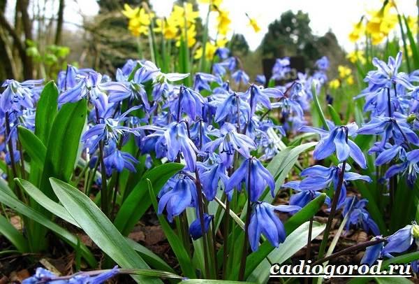 Пролески-цветы-Описание-особенности-виды-и-уход-за-пролесками-16