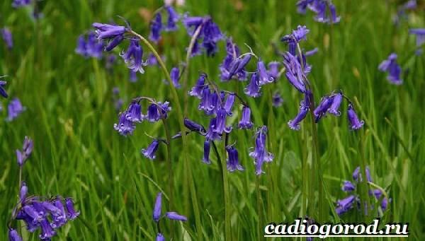 Пролески-цветы-Описание-особенности-виды-и-уход-за-пролесками-18