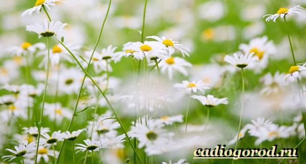 Ромашка лекарственная. Описание, полезные свойства и применение ромашки лекарственной-13