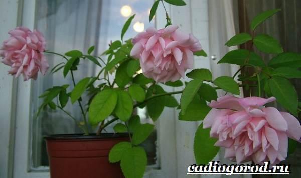 Роза-комнатная-Описание-особенности-виды-и-уход-за-комнатной-розой-1