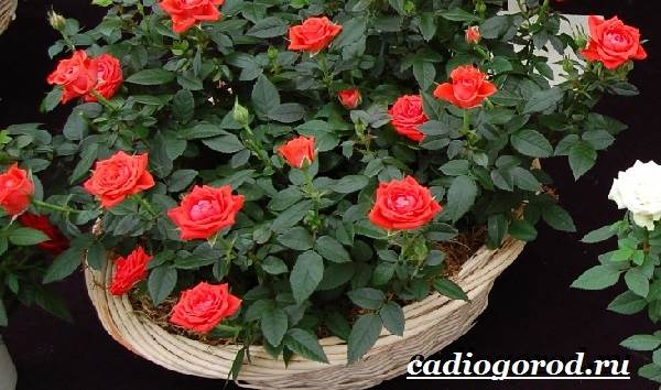 Роза-комнатная-Описание-особенности-виды-и-уход-за-комнатной-розой-7