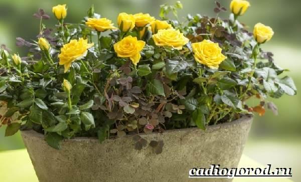 Роза-комнатная-Описание-особенности-виды-и-уход-за-комнатной-розой-8