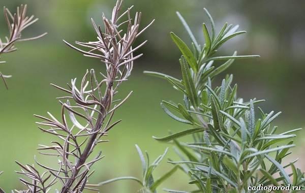 Розмарин-растение-Описание-особенности-виды-и-выращивание-89