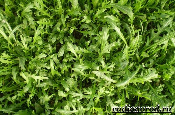 Руккола-растение-Выращивание-рукколы-Виды-и-уход-за-рукколой-10