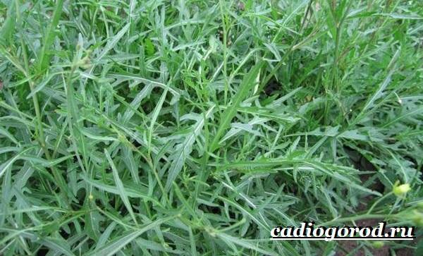 Руккола-растение-Выращивание-рукколы-Виды-и-уход-за-рукколой-3