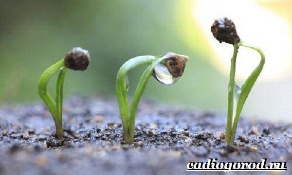 Шпинат-растение-Выращивание-шпината-Уход-за-шпинатом-12