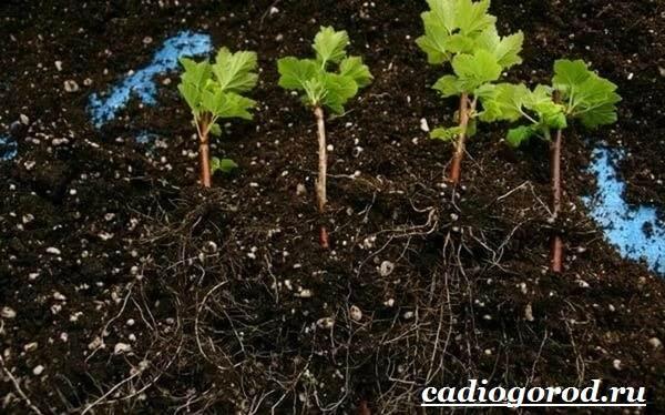 Смородина-ягода-Выращивание-смородины-Уход-за-смородиной-11