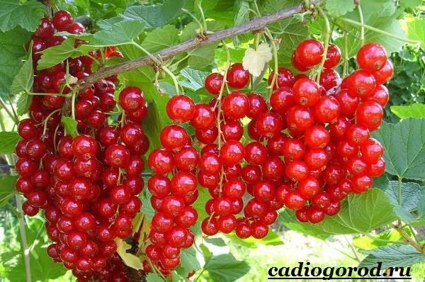 Смородина-ягода-Выращивание-смородины-Уход-за-смородиной-2