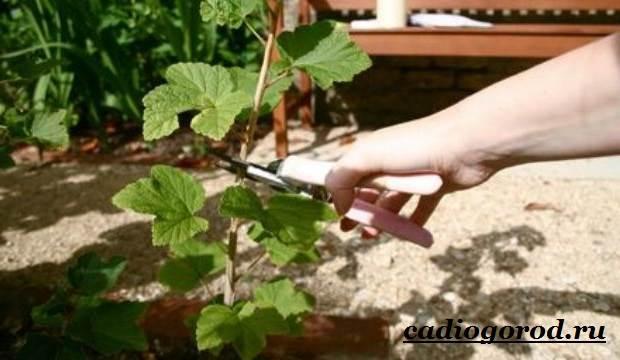 Смородина-ягода-Выращивание-смородины-Уход-за-смородиной-20