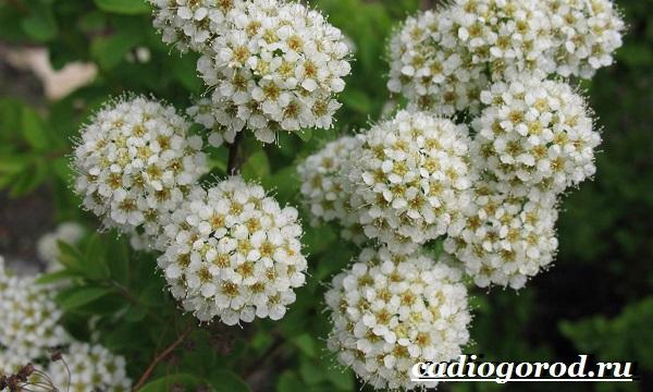 Спирея-цветок-Описание-особенности-виды-и-уход-за-спиреей-15