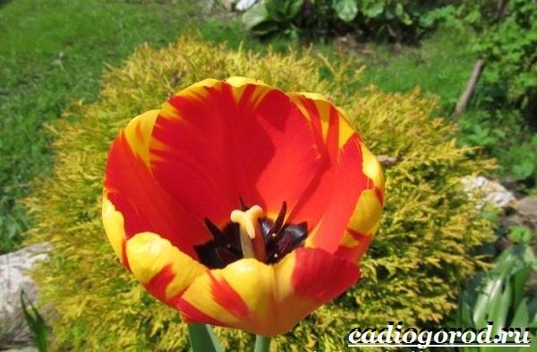 Тюльпан-цветок-Выращивание-тюльпанов-Уход-за-тюльпанами-1