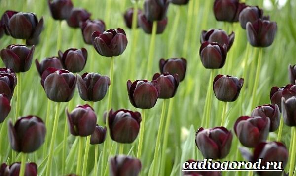 Тюльпан-цветок-Выращивание-тюльпанов-Уход-за-тюльпанами-14
