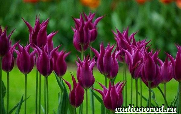 Тюльпан-цветок-Выращивание-тюльпанов-Уход-за-тюльпанами-17