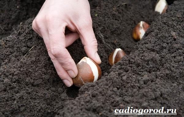 Тюльпан-цветок-Выращивание-тюльпанов-Уход-за-тюльпанами-3