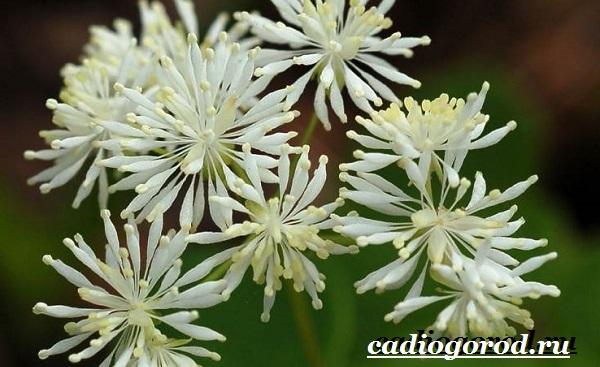Василистник растение. Описание, особенности, виды и уход за василистником-1