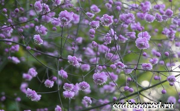Василистник растение. Описание, особенности, виды и уход за василистником-13
