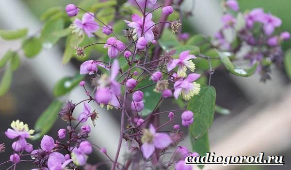 Василистник растение. Описание, особенности, виды и уход за василистником-5
