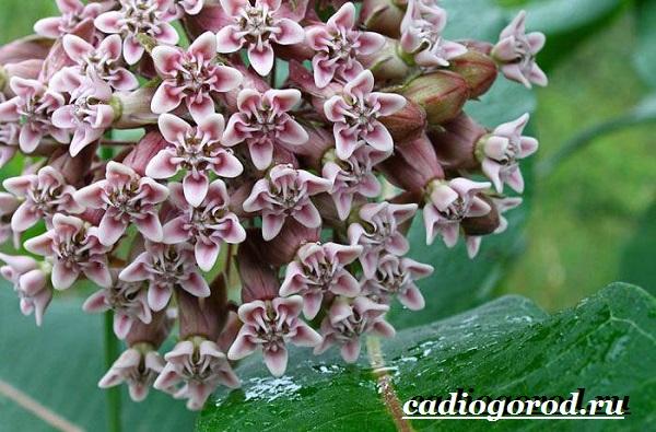 Ваточник-цветок-Описание-особенности-уход-и-виды-ваточника-1