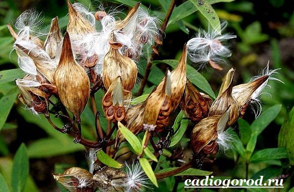 Ваточник-цветок-Описание-особенности-уход-и-виды-ваточника-11